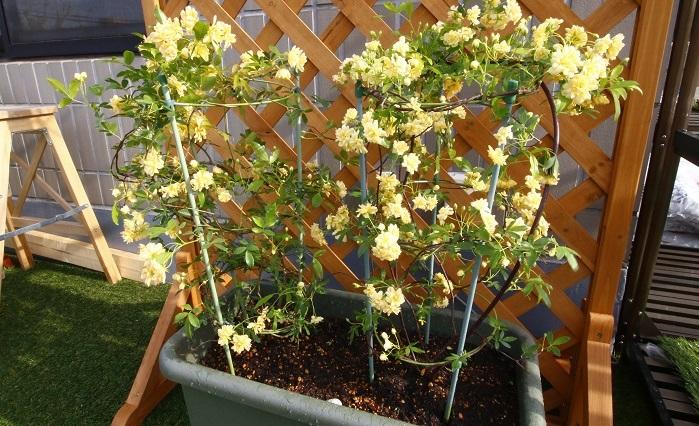 お庭の塀に咲き乱れる花はとても素敵です。