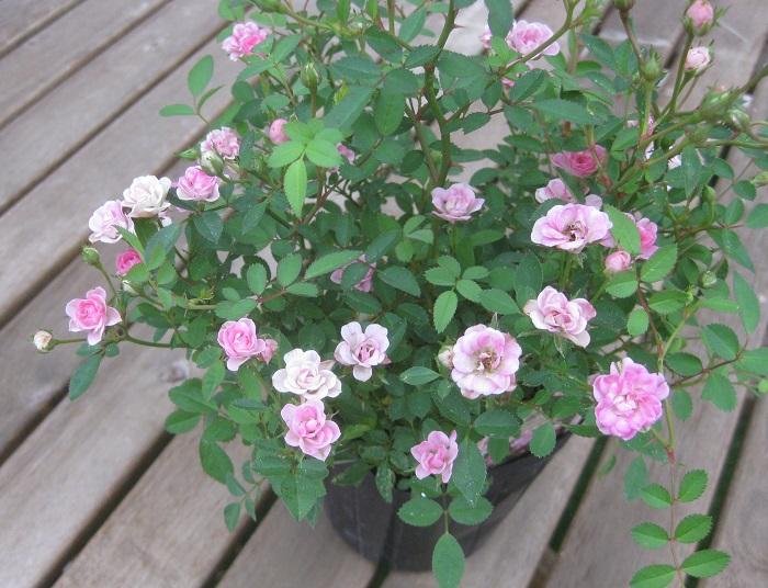 姫バラ ワンダーファイブ バラ科 耐寒性落葉低木 開花期:5~11月 四季咲き  冬期はピンク、夏期は白へと花色が変化します。極小輪のミニバラです。開花後、強い剪定を繰り返すと年間4~5回花を楽しめます。 日当たりと水はけ、風通しの良い場所を好みます。