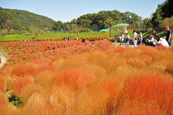 """画像提供:国営讃岐まんのう公園  秋! 色どりフェスタ  20品種50万本のコスモスや、4000本の""""紅葉する草""""コキアが、園内を色とりどりの秋色に染めていきます。期間中は秋を楽しむ各種イベントも開催。  ※期間中毎日開園。  10月1日(日)、10月22日(日)は入園料無料。  9月18日(月・祝):敬老の日は、65歳以上の方は入園料無料。  (駐車料金は別途)"""