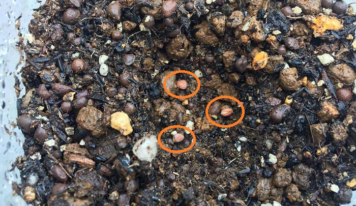 今回まいた種は、100均で購入した大根の種です。  1つのペットボトルで1本の大根を育てます。  1か所に3粒まいた理由は、大根の種の発芽率が85%であることと、3粒の中で一番元気な苗を残すためです。