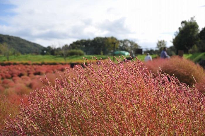 画像提供:国営讃岐まんのう公園    ▼くわしいイベント情報はこちら!      目次に戻る≫     いかがでしたか?  これから次第に紅葉していくコキア。真っ赤に染まった色も美しいですが、緑色も紅葉しかけのオレンジ色もまた、すてきだと思います。秋の一日をコキアの名所で過ごしてみませんか。     ▼秋のオススメおでかけ情報はこちら!             ▼コキアの育て方はこちら!       ▼コキアでほうきを作ってみよう!