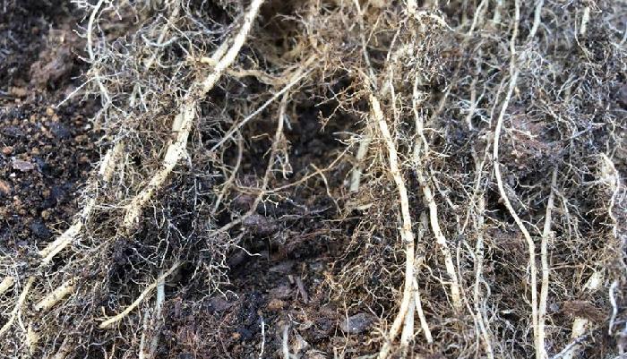 アップで見るとよくわかります。このように根の表面がきれいな根であれば、抜き取るだけで問題ありません。