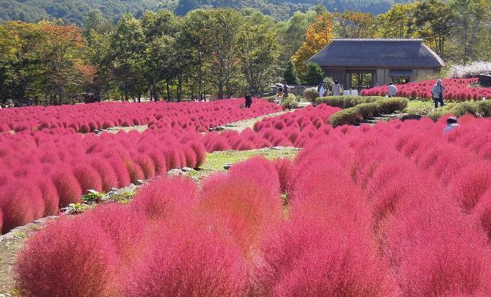 画像提供:国営みちのく杜の湖畔公園   コスモス&コキア de COKOフェスタ2017  みちのく公園の毎年恒例の秋イベント「COKOフェスタ2017」ではコスモス畑やだんだん畑に植えられたコキアの風景を楽しむことができます。