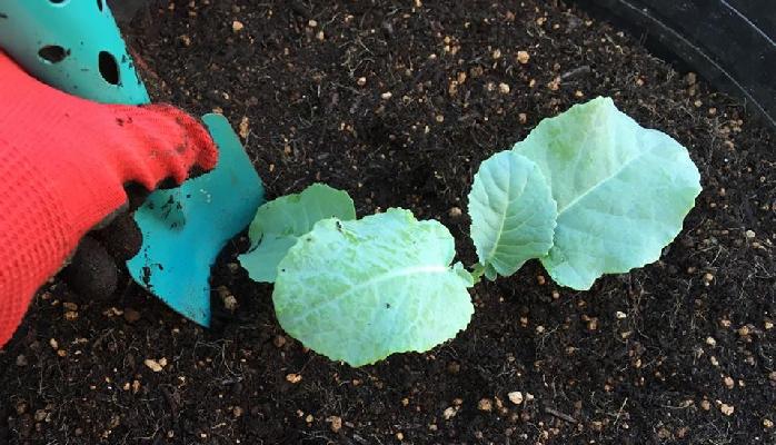 3 苗の周りを少し凹まして、苗にしっかり水が浸透するように植え付けてあげましょう。