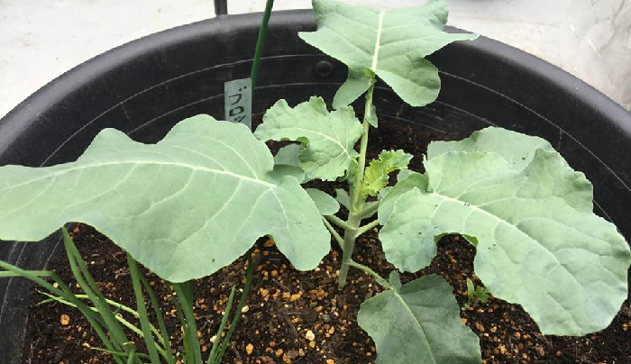 植え付けから20日経過  随分と苗の主茎が太くなり、しっかりしてきました。