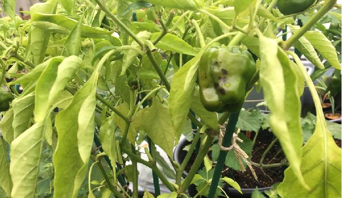 同じ畑で、同じ種類の作物を続けて栽培するうちに、作物が健全に生育できなくなることを連作障害(忌地)といいます。この連作障害が野菜に及ぼす影響のほとんどが病害虫です。  みなさんにとって害虫の被害や作物がうまく育たなくなることは、家庭菜園の最大の困りごとですね。