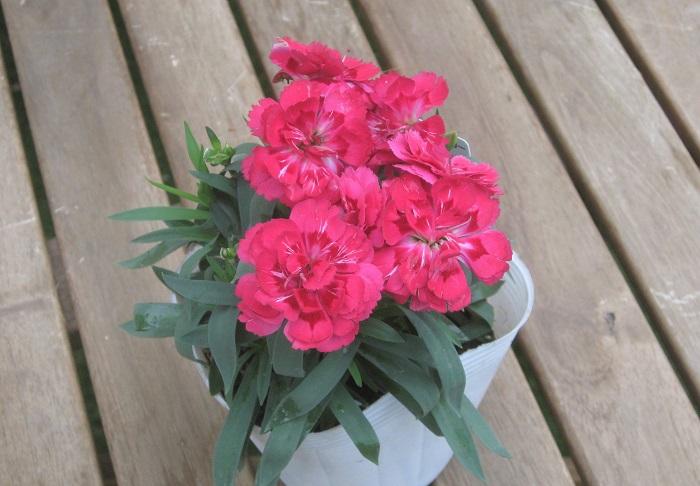 ダイアンサス オスカー ナデシコ科 耐寒性多年草 開花期:春・秋  ダブル咲きのダイアンサス(ナデシコ)です。花がらをこまめに摘んで新芽を伸ばすとまた咲きます。耐寒性はありますが夏の暑さは少し苦手です。真夏は半日陰の風通しが良い場所で育てましょう。