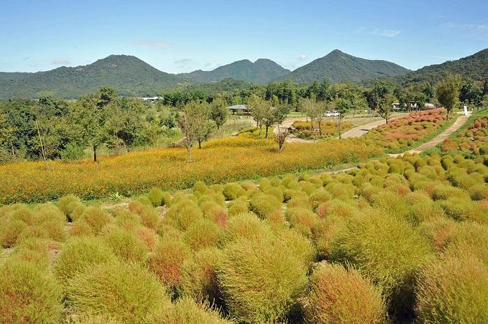 画像提供:国営讃岐まんのう公園  コキアは9月中旬からじょじょに黄緑色から赤色に変化していき、最終的に小麦色になります。花巡りの丘に入る道を行くと、奥に広がる山々と共に丘全体に広がるコキアが一望できるのでおすすめです。