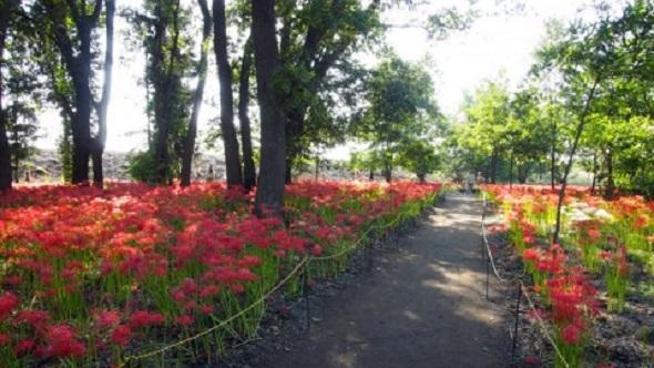 伊勢崎市境三ツ木にある「早川渕彼岸花の里」は、地元ボランティアの方が管理している彼岸花の名所です。明るい雑木林の林床に咲く彼岸花の風景は見事。なかには白い花も見られるので、探してみてください。