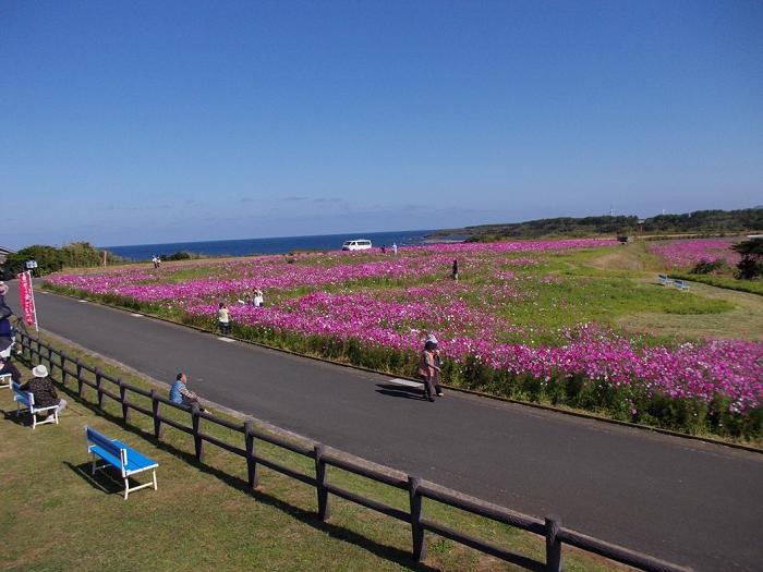 長崎県五島市では、約150万本のコスモスが咲いています。一人300円でできるコスモスの花摘み(先着200名)や餅まきなどのイベントもあります。