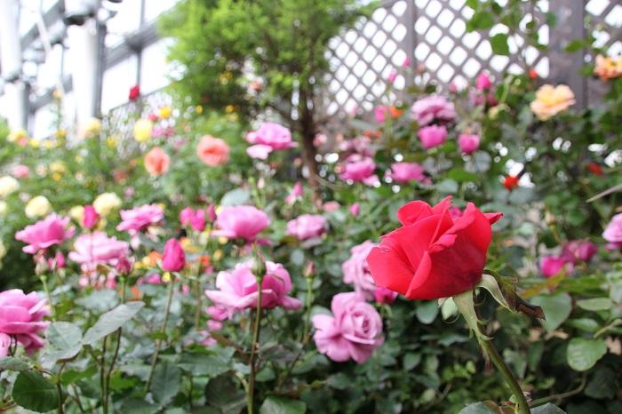 ファンケル銀座スクエアのバラ