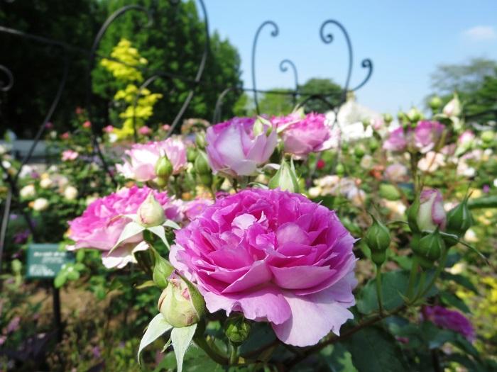 四季の香ローズガーデンは、国内でもちょっと珍しい特徴を持っています。それは、『バラの香り』に特化したバラ園だということ。約180品種のバラが咲くと、園内は甘い香りに包まれます。新宿から30分の、バラの香りを楽しむ庭です。