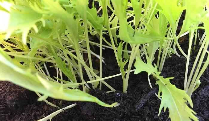 先ほどから秋冬野菜の生育適温についてふれていますが、バーク堆肥をまくことで土の表面に布団を掛けたような状態にして、野菜の根を寒さから守る作用があります。外の気温が寒くても、地温が上がれば野菜も喜びますね。