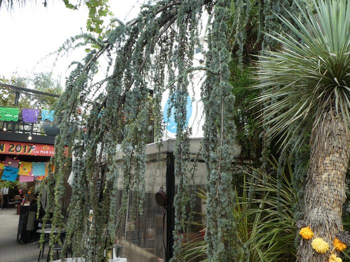 ヒマラヤ杉といえば公園などで見上げるほどの大木になっているイメージがあると思いますが、こちらのヒマラヤ杉は枝垂れ性のもの。ずいぶん感じが違います。