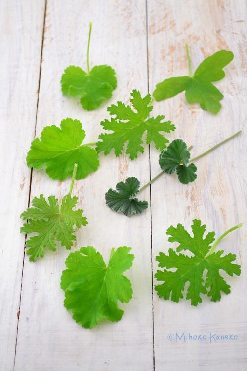 一般的にゼラニウムと呼ばれている植物と仲間ですが、ハーブゼラニウムは、葉や茎に香りがあってハーブとして分類されているゼラニウムのことを言います。それ以外にペラルゴニウムと呼ばれている植物も仲間です。ゼラニウムは、四季咲き性があるものが多いのに対して、ハーブゼラニウムは春から初夏が開花時期のものが多いのが違いのひとつです。(一部四季咲き性のあるものもあります)その他の違いは、花の大きさもゼラニウムよりは、小さめのサイズです。