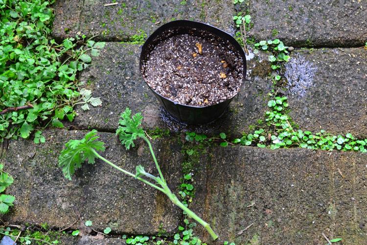 赤玉土の小粒、バーミキュライトと赤玉土の混合、もしくは種まき、挿し木用として販売されている土を使います。