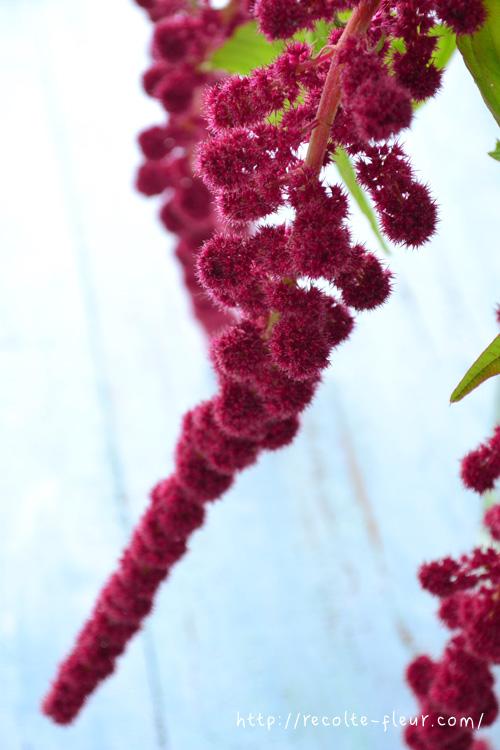 長い花穂のひとつひとつは、かわいいモコモコしたユニークな形です。