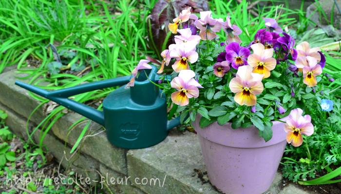 ビオラは冬から春にかけて開花する草花なので、水をあげる時間帯は午前中にします。これは午後に水をあげると、夜までに土が適度に乾かず、その日の晩に霜がおりるような気温になると、ビオラの根っこが霜でやられてしまう可能性があるからです。