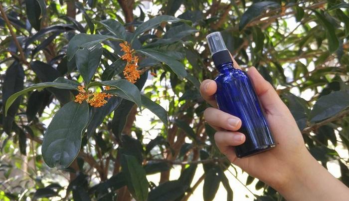 金木犀(キンモクセイ)のお花の時期は秋の一瞬ですが、お花を使って香水にすることができます。ルームスプレーのアレンジもご紹介します。