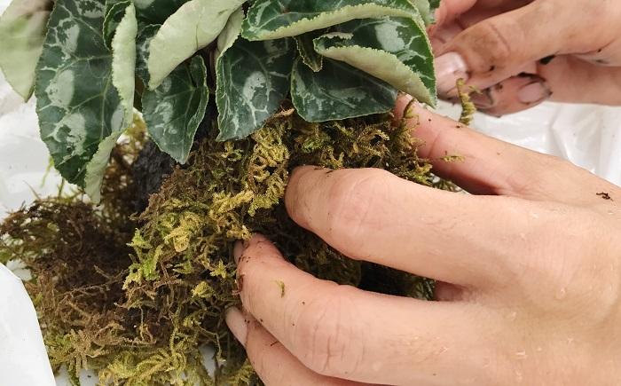 ハイゴケで苗を包み込み、隙間が開かないように両手で軽く握ります。