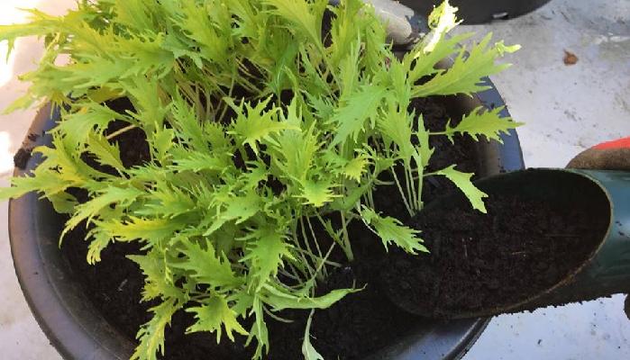 植物が病気にかかる理由として、この「泥はね」というのは一つのキーワードになります。ほとんどの植物がかかる病気は、土の中に存在している病原菌が雨や水やりの時にはね上がって伝染することが原因になっています。雨の続く天候では病気になりやすい環境が続くため、バーク堆肥を株周りにまくことで対策としました。