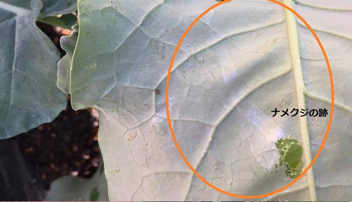 葉が食害されナメクジの通った跡が確認されましたので、10月にナメクジの駆除対策をすることにしました。