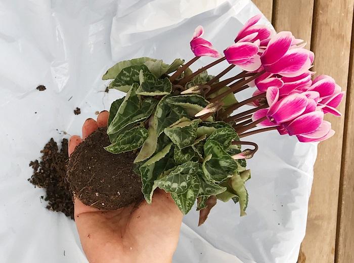 苗の土が減ったので、苗を両手で優しくきゅっと握り小さくまとめます。