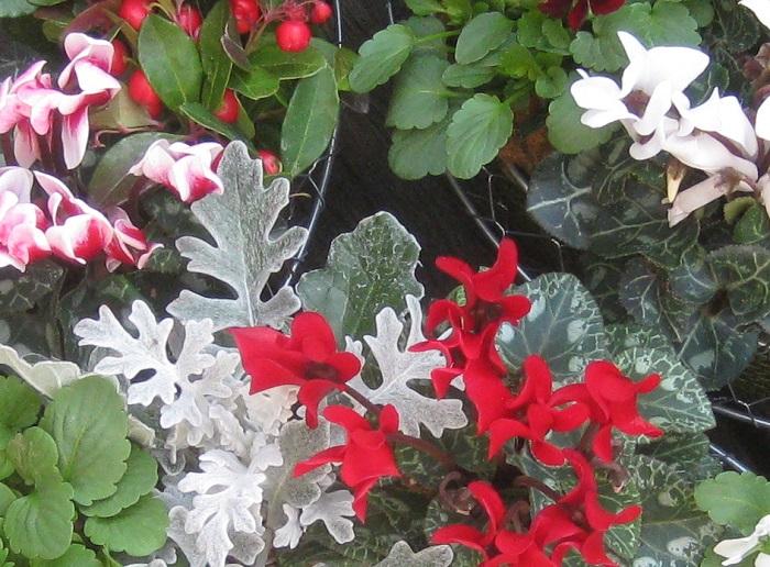 赤い実やガーデンシクラメンと合わせるとすっかり冬の雰囲気になりますね。