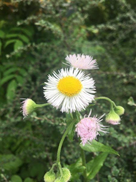 ハルジオン  ハルジオンの草丈は低く、花は大きくて少ない、蕾は下を向いて項垂れ(うなだれ)ているような特徴があります。葉柄はヒメジョオンに比べて丸みを帯び茎に抱きつくように生えています。  茎もハルジオンは空洞なため、折ってみるとヒメジョオンとの違いがはっきりと分かります。  名前の由来は、女苑(ジョオン)という中国名を持つヒメシオンと形態が似ていることから名づけられたようです。