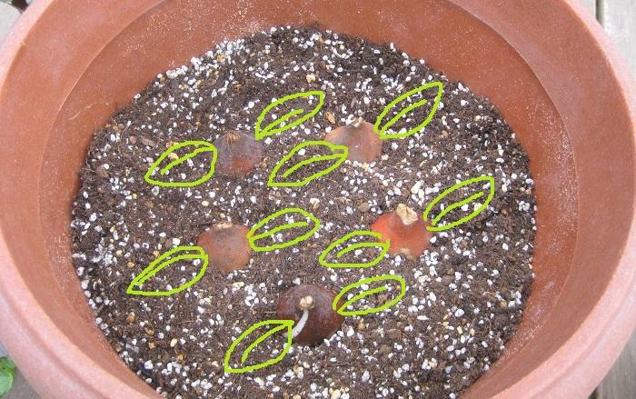 チューリップの球根の向きをそろえて配置します。  チューリップの球根の向きは、とんがっている部分が上です。そして、とんがっている部分を上にしてよく見ると、ぷっくりとふくらんでいる側と平らな側があります。植える時に、このぷっくりとした側と平べったい側の向きをそろえて植えると、葉がぶつかり合うことなく美しく咲きそろうのでおすすめです。  また、植える時に球根の皮をむくと発根が促されて開花時期がそろうと言われています。いろいろ試しながら寄せ植えを作ってみたら面白いですね。