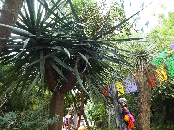 『イエメン・ソコトラ島の竜血樹と姿形がよく似ているが、この竜血樹はカナリア諸島原産のものである。この樹液は染料や薬になり、古くからシルクロードを通って東洋でも取引された。世界には3種類竜血樹があるといい、のこるべきもう一種のゆくえを海外の数人のプラントハンターが追っている。』