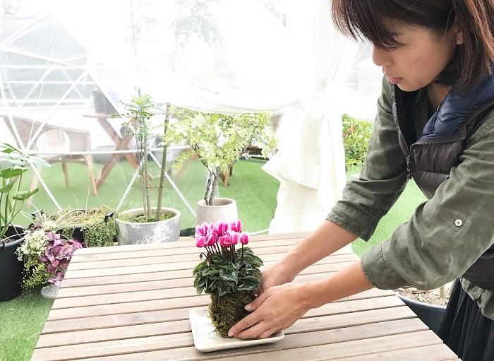 置く場所  秋から春は、日のあたる窓辺に置きましょう。夏は、風通しの良い涼しい場所で葉を育てます。  水やり  苔玉が乾きそうになったら、株元までたっぷりの水に5分ほど浸けます。水を切ってからお皿に戻して飾ります。  苔玉が完全に乾ききってしまうと花がぐったり倒れてしまいます。鉢植えも同じですが、ずっと土がジメジメしている状態も根の成長に好ましくありません。  乾ききる前の、「乾いてきたら」のタイミングをよく観察しましょう。もしお水を忘れて花をぐったりさせてしまった時には、すぐに株元まで水に浸してあげてください。ちょっとすると回復してきます。  花がらとり  枯れた花がらを摘む時は、花茎の下の方と苔玉を持ってひねるようにして引き抜きます。途中から折れた花茎を残すと、切り口から病気に感染することがあります。  肥料  花を次々と咲かせたい場合は、2~3週間に1度、水やりをかねて液体肥料を適量溶かした水に浸けてあげましょう。