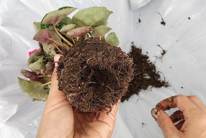 底の中心の土を指で落とします。ガーデンシクラメンは球根植物なので、底から少し入ると球根があります。球根を傷つけないように優しく土を落としましょう。