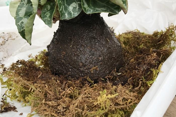 ハイゴケを裏返しにして広げ、苗を真ん中に置きます。