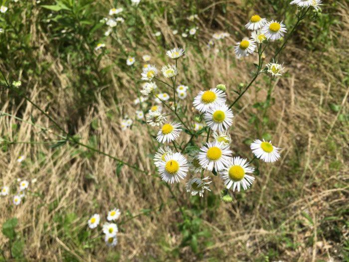 明治初期に渡来し、各地に広がった帰化植物ですが、現在は大正初期に渡来したハルジオンにおされているようです。  ヒメジョオンの方が草丈が高く、花は小さくて数が多く、葉柄はギザギザとしています。