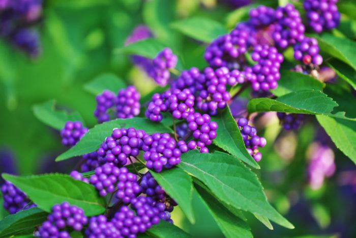 11月6日の誕生花は「ムラサキシキブ(紫式部)」です。「ムラサキシキブ(紫式部)」について、花言葉や基本情報、色別の花 言葉、豆知識など気になる情報をご紹介!