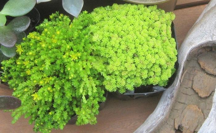 5 セダム ベンケイソウ科 耐寒性(半耐寒性)多年草 這性 観賞期:周年 開花期:春~秋(種類によります) 花色:白、ピンク、黄など  草丈:10cm~20cm  日なたから半日陰と乾燥気味の用土を好みます。夏に蒸れやすいので込み合っている場合はすいたり、半分くらいの高さでカットします。種類によって耐寒性があまり強くないものもあります。購入する際に耐寒性の強い種類を選ぶことをおすすめします。