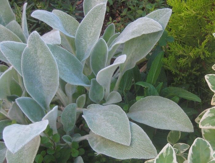 ラムズイヤー  シソ科 耐寒性多年草 観賞期:周年 開花期:5~6月 花色:紫 草丈:20cm  日なたと水はけのよい用土を好みます。枯葉を取り除いて蒸れを防ぎましょう。長めの花茎の先端から付近の節に小さな紫色の花を咲かせます。花茎は花後早めに切ります。ラムズイヤー(子羊の耳)という名は、ふわふわした葉の感触と形によります。