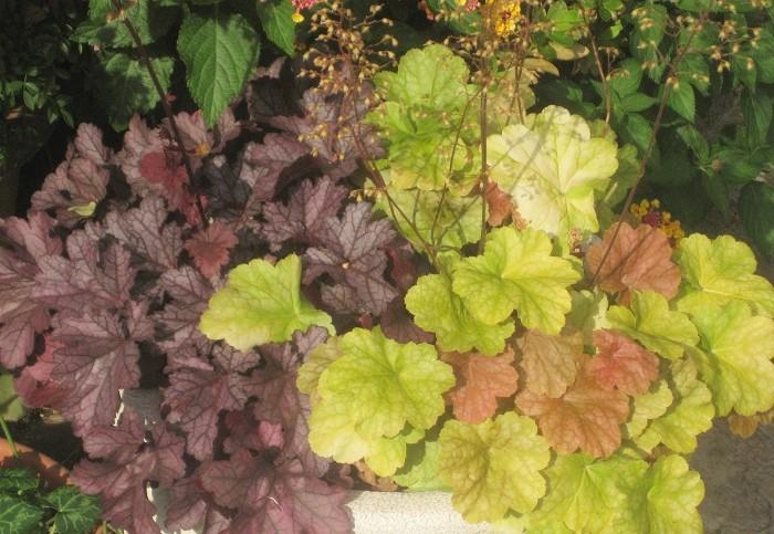 12 ヒューケラ ユキノシタ科 耐寒性多年草 観賞期:周年 開花期:5~6月 花色:赤、白、ピンクなど 草丈:30~80cm  日なたから半日陰、水はけのよい用土を好みます。高温乾燥に弱いので気をつけましょう。ふんわり茂っている葉の間から、細い花茎を長く伸ばして花を咲かせます。葉色は何色かあります。