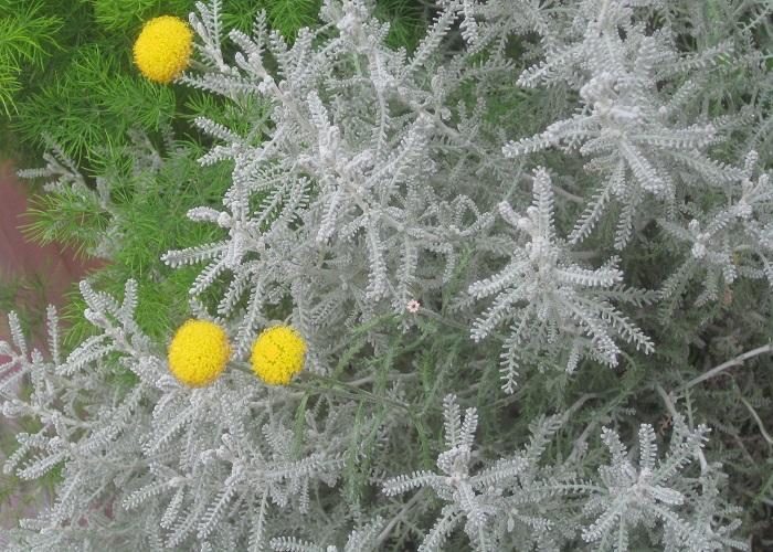 サントリナ キク科 耐寒性常緑低木 観賞期:周年 開花期:5~7月 花色:黄  高:30~50cm  日なたと乾燥気味の用土を好みます。春と秋に丈を半分に刈り込んで蒸れを防ぎ、花壇の縁取りに使うことが向いています。細かい葉が綿毛におおわれているため、株全体が一年中銀白色に見えます。葉をさわると特有の香りがします。長い花茎が伸びて球形の黄色い花が咲きます。