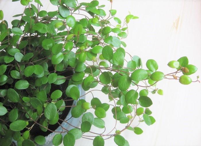 19 ワイヤープランツ タデ科 半耐寒性常緑低木 ほふく性 観賞期:周年  樹高:5~20cm  日なたから半日陰を好みます。乾燥に弱いです。小さな丸い葉がワイヤーのような茎からふんわり茂っていきます。最近は丸葉だけでなくハート型やスペード型、斑入りのものなど種類も豊富です。寒さにとても強いわけではないので冬に元気がなくなりますが、葉が落ちた所を刈り込めば春にまた芽吹きます。