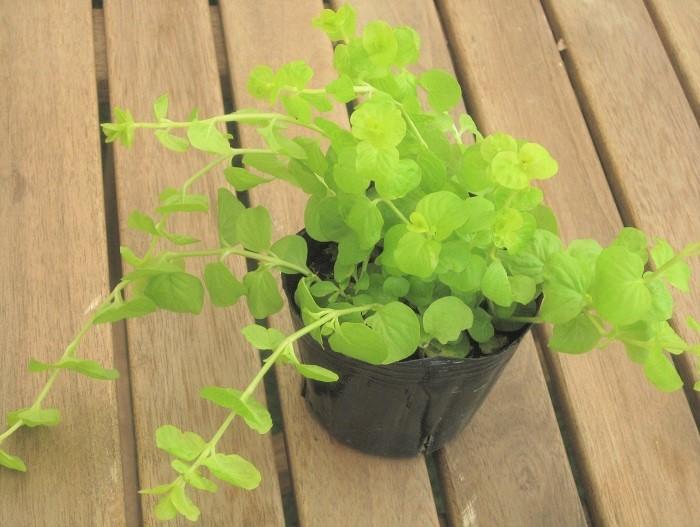 15 リシマキア オーレア サクラソウ科 耐寒性多年草  観賞期:周年 開花期:4~6月 花色:黄ほか 草丈:5cmほど  日なた~半日陰、水はけのよい用土を好みます。葉が這うように広がります。夏の高温多湿の蒸れに弱いです。冬の寒さで一時的に葉に元気がなくなることがありますが、春になるとまた美しいグリーンの葉が広がります。