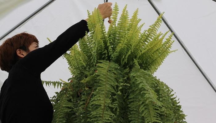 吊るしてある植物もおろしておきましょう。