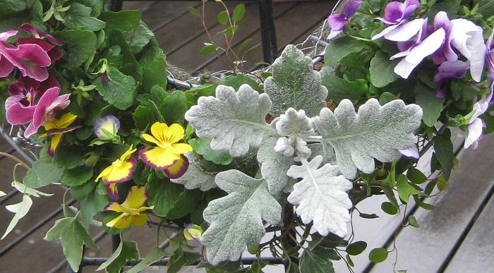 シルバーリーフを1年草のパンジーやビオラと合わせると、秋から春まで長い期間楽しめます。