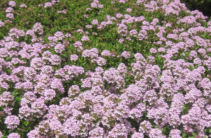 7.クリーピングタイム シソ科 耐寒性常緑低木 這い性 観賞期:周年 開花期:4~6月 花色:ピンク、白、うす紫など  樹高:15~20cm  クリーピングタイムは日なたから半日陰、水はけのよい用土を好みます。茎の先端に、花径5㎜程度の小さな手毬状の花をまとまって咲かせます。葉には爽やかな芳香があり、触れると香ります。丈夫で横にどんどん広がっていきます。冬には地上部に元気がなくなりますが、根はマイナス10℃まで耐えるので春になると新芽が出ます。夏の暑さと湿気を嫌うので、花が終わったら梅雨に入る前に切り戻しを行うといいですね。冬に元気がなくなってしまった部分は刈り込んでおくと春に新芽が美しく出そろいます。