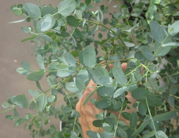 ユーカリ・グニー フトモモ科 耐寒性常緑低木 観賞期:周年  花期:9~10月  花色:クリーム色  樹高:50~300cm  日なたなら、乾燥したやせ地でもよく育ちます。葉は丸形で、表裏ともに銀白色~銀青緑色になります。新芽や葉縁がピンク色を帯びることがあります。