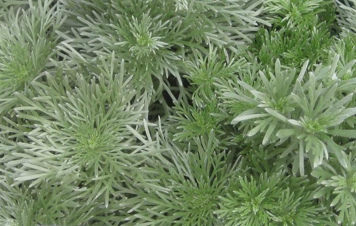 アサギリソウ キク科 耐寒性多年草 観賞期:3~10月 開花期:8~9月 花色:黄 草丈:10~20cm  日なたから半日陰、水はけのよい用土を好みます。茎頂から花茎を伸ばして淡黄色の花を咲かせます。暑さと蒸れに弱いので刈り込んで風通しをよくしましょう。冬は地上部が枯れますが、春に再び芽吹きます。