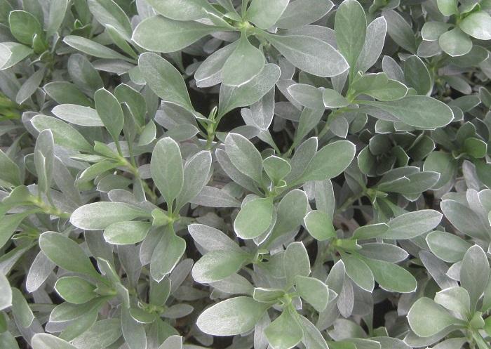 コンボルブルス・クネオルム スノー・エンジェル ヒルガオ科 耐寒性常緑低木  開花期:5~7月 花色:白 花径:3cm 樹高:30cm  日なたと水はけのよい用土を好みます。シルクのような艶がある銀白色の葉は常緑で、花が咲いていない時もカラーリーフとして楽しめます。蒸れに弱いので、風通しよく管理しましょう。