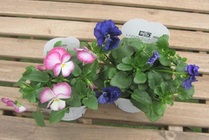 写真左が虹色スミレ、写真右が絵になるスミレです。(ともにパンジー)  虹色スミレ スイートラブ スミレ科 耐寒性一年草 開花期:9~5月  花色のグラデーションがとても華やかです。中、小輪多花性で次々と花を咲かせます。日なたと水はけ、風通しの良い場所を好みます。  絵になるスミレ マリーヌ スミレ科 耐寒性一年草 開花期:9~5月  芸術性と豪華さを追求した、名画のようなパンジーです。花びらが厚く丈夫で花つきも良いため長期間楽しめます。とくに気温の上がる3~4月に見事に咲きほこります。日なたと水はけ、風通しの良い場所を好みます。