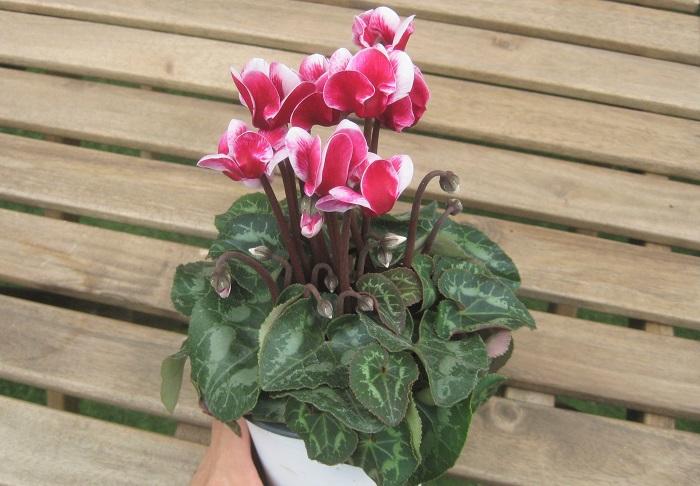 ガーデンシクラメン ゴブレット   サクラソウ科 半耐寒性球根 開花期:10~4月  花弁がやや開き気味に咲く様子から「ゴブレット」の名がついたそうです。上から眺めても良く映える独特の花型、その存在感を楽しめます。日なたと水はけのよい用土を好みます。東京以西に限られますが、冬でも花壇や寄せ植えで花を楽しむことができます。小輪のミニシクラメンの中から、特に寒さに強い系統を選抜し冬に戸外でも栽培できるように改良されたものがガーデンシクラメンです。